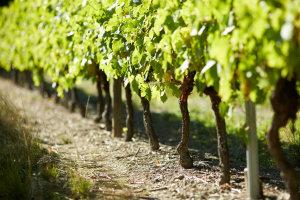 cognac-grande-champagne-vineyard-moyen
